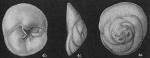 Neoconorbina floridensis-Todd,R-1965-Albatross-4