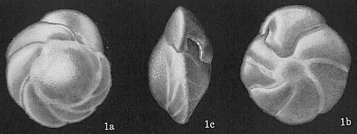 Nuttallides umboniferus