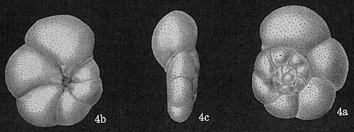 Rosalina globularis