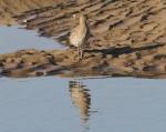 Curlew (Numenius arquata)