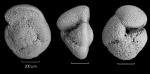 Globorotalia crassaformis crassaformis