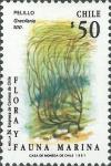 Gracilaria sp.