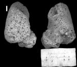 Agelas dispar Duchassaing & Michelotti, 1864 Holotype