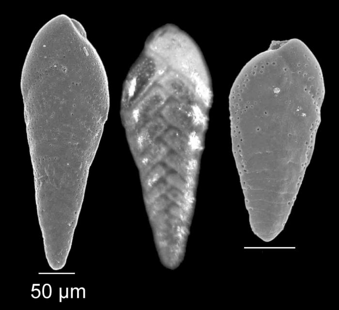 Brizalina spathulata (Williamson, 1858)