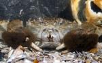 Eriocheir sinensis