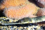 Syngnathus acus