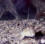 Callionymus lyra - male