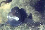Lipophrys pholis - male