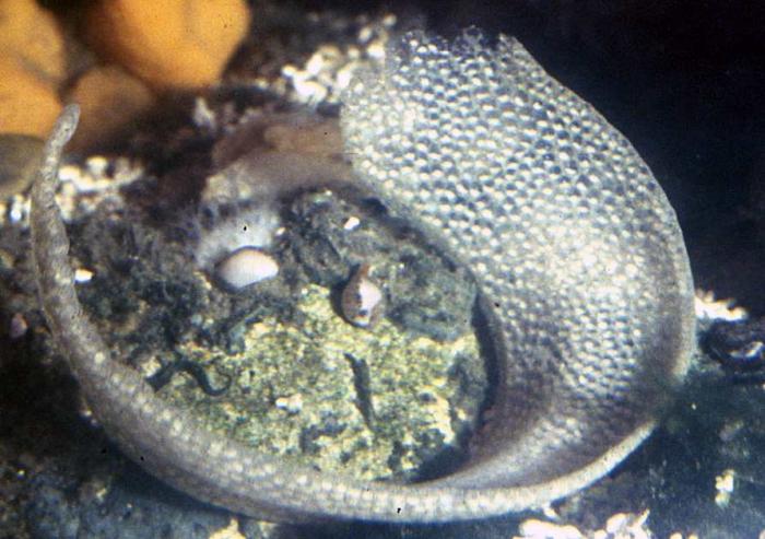 Lunatia catena - eggs
