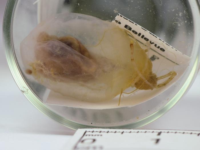 Ascidia obliqua