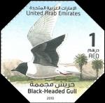 Little gull - Larus minutus