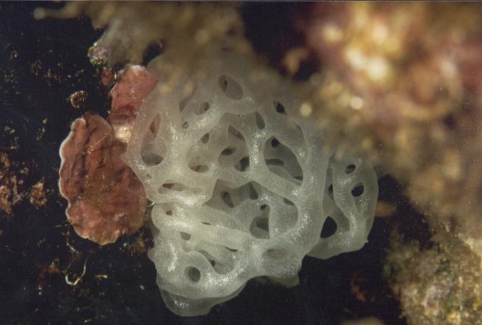 Porifera, Class Calcarea