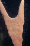 Agelas cervicornis