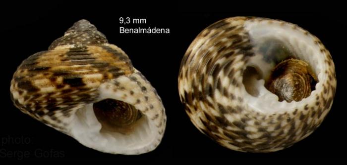 Clanculus jussieui (Payraudeau, 1826)   — specimen from Benalmádena, S. Spain (actual size 9.3 mm)