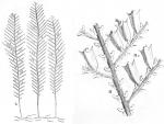 Sertularia pinaster from Ellis & Solander (1786)