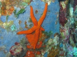 Starfish, Polypora
