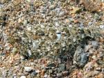 Arnoglossus thori