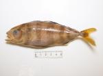 Seriola dumerili - Greater amberjack