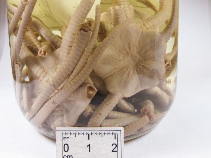 Ophiopleura borealis