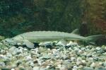 sturgeon - aquarium