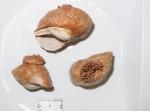 Allantactis parasitica - trio