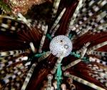 Echinothrix calamaris (Pallas, 1774)