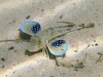 Chelidonichthys lucerna (juvenile)