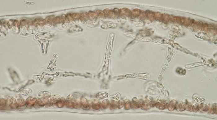 Halarachnion ligulatum