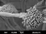 Aspergillus fumigatus AFK11