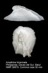 Amathina tricarinata