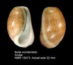 Bulla occidentalis