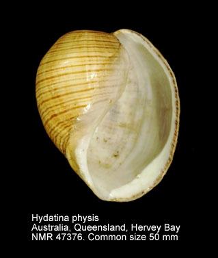 Hydatina physis