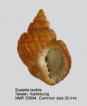 Scalptia textilis