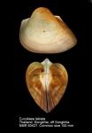 Cucullaea labiata