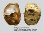 Bostrycapulus aculeatus