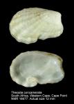 Thecalia concamerata