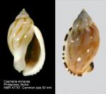 Casmaria erinaceus