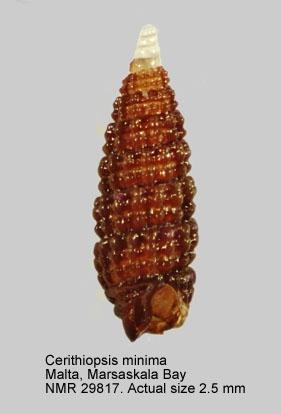 Cerithiopsis minima