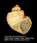 Trigonostoma semidisjunctum