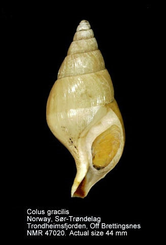Colus glaber