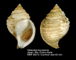 Galeodea leucodoma