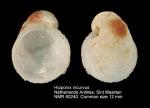 Hipponix incurvus