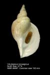 Volutopsius norwegicus