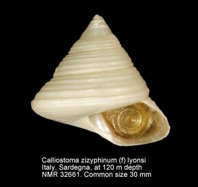 Calliostoma zizyphinum var. lyonsi
