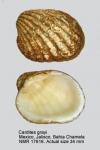 Cardites grayi