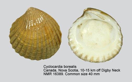 Cyclocardia borealis