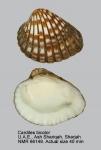 Cardites bicolor