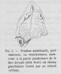 Pelseneer (1928, figuur 1)