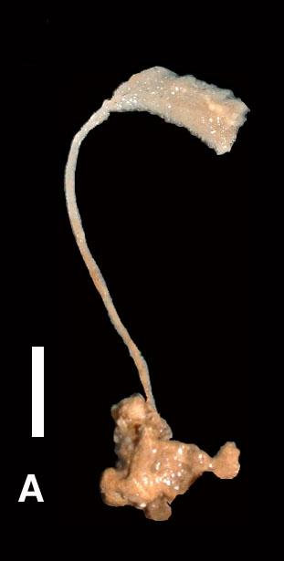 Amphilectus strepsichelifer