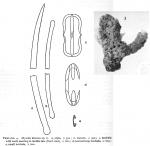 Myxilla distorta Burton, 1954
